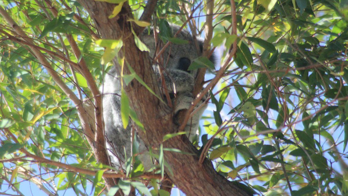 Cache-cache avec les Koalas à Magnetic Island