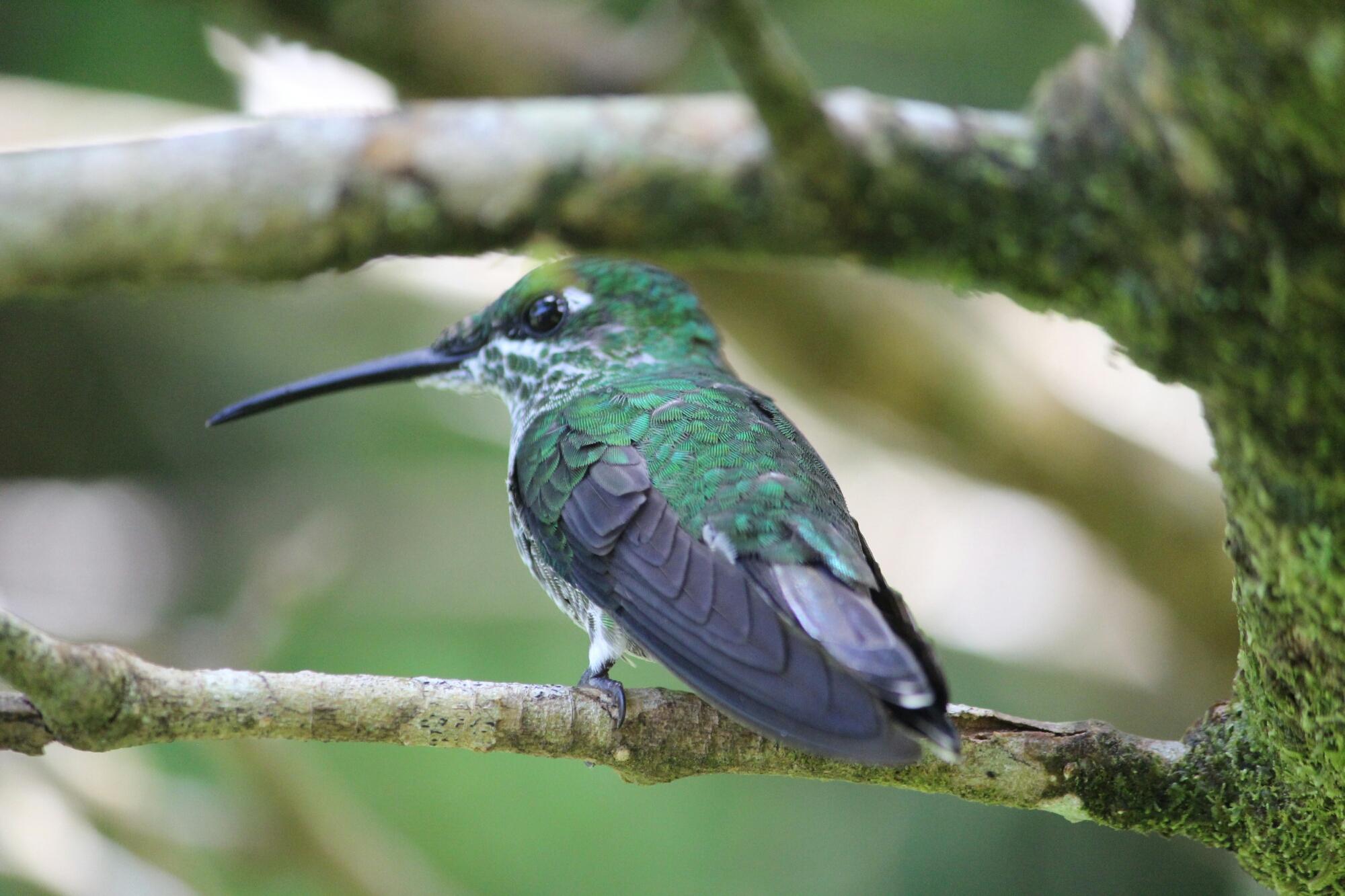 Colibris à Monteverde