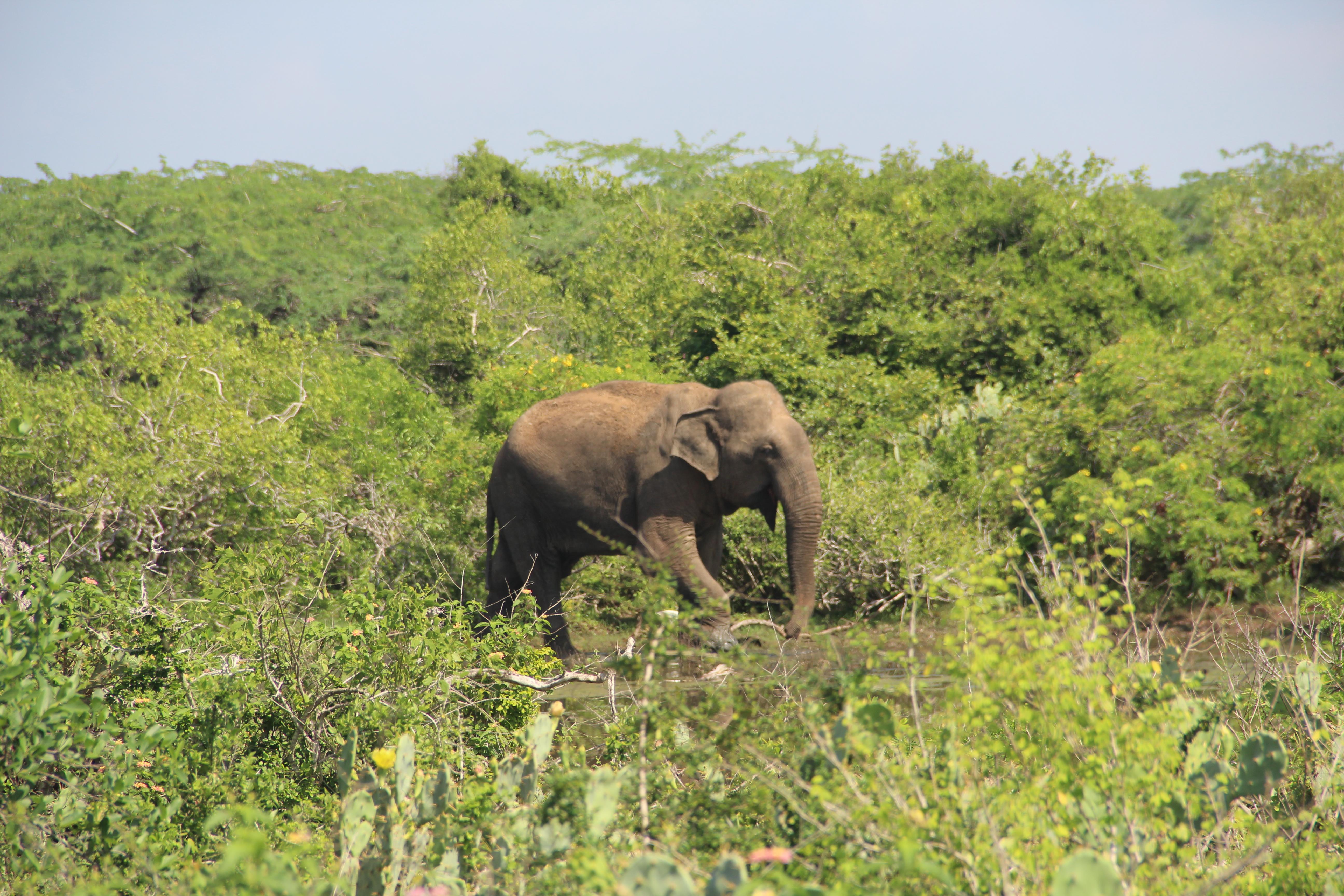 Un éléphant à Bundala NP