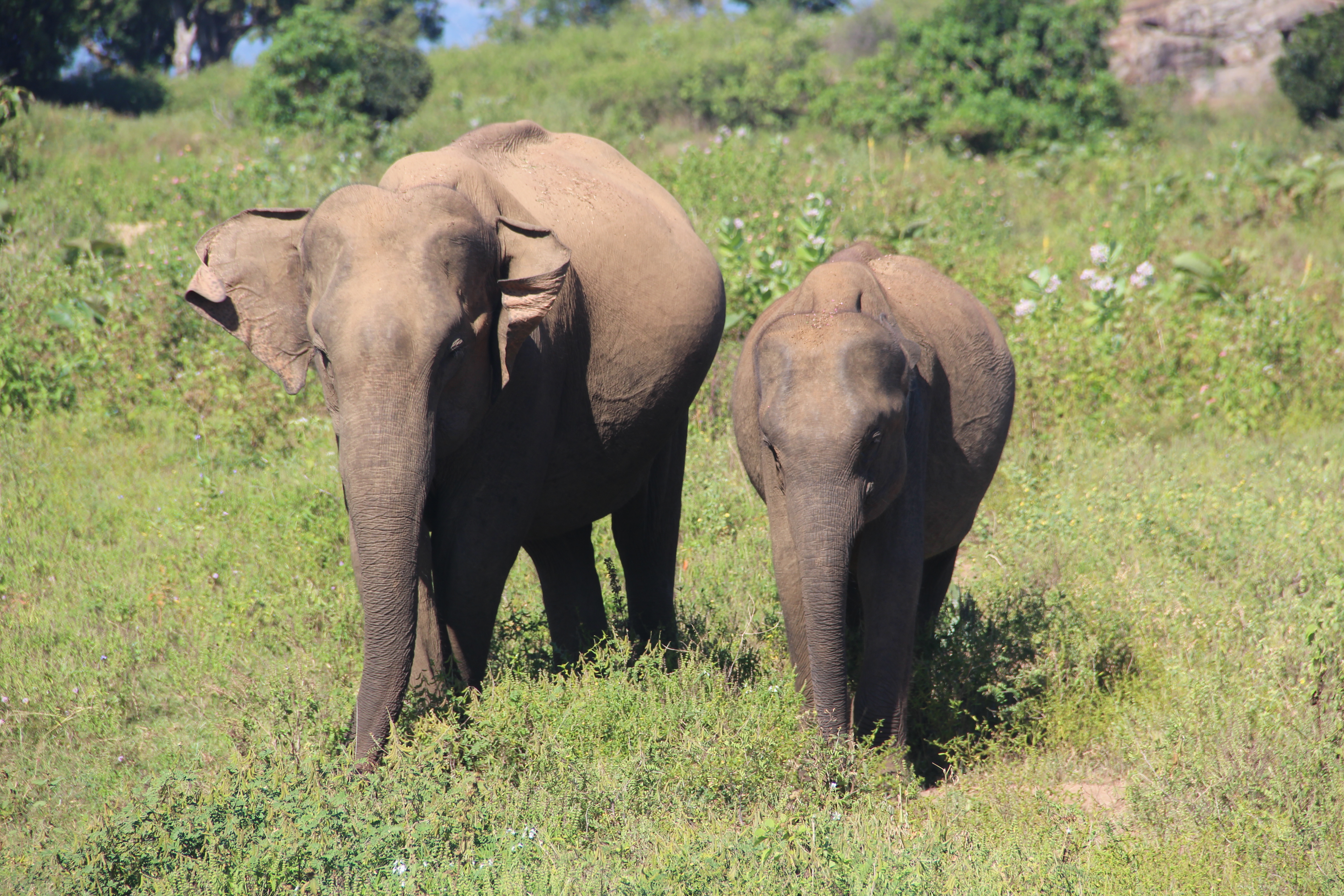 Éléphants de Uda Walawee