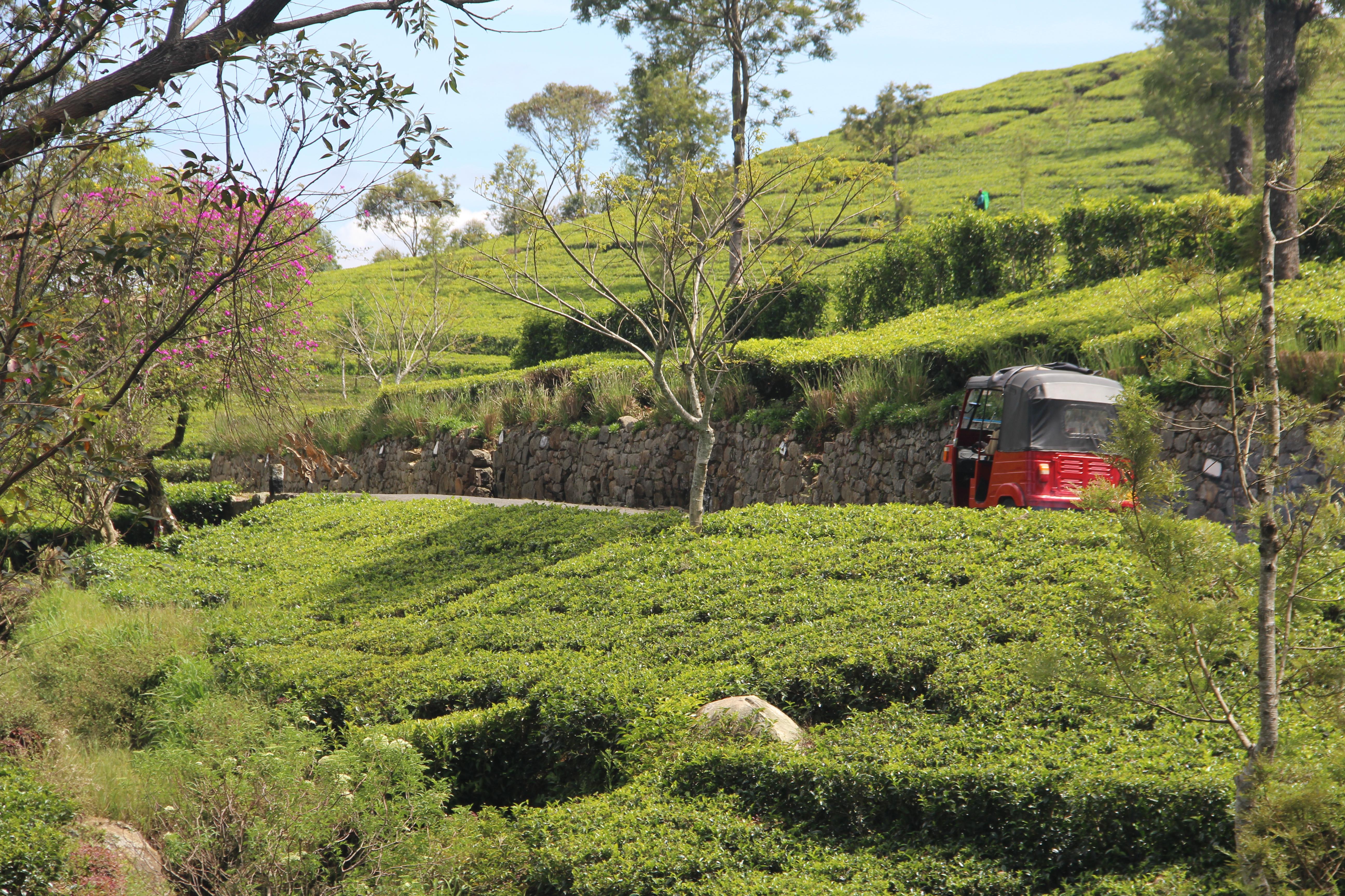 Plantation de thé à Lipton seat (Dambatene)